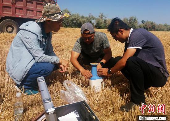 第四師可克達拉市農業農村局組織農業、種業、農技、科研等部門人員對67團進行小麥實地測產?!±罴t平 攝