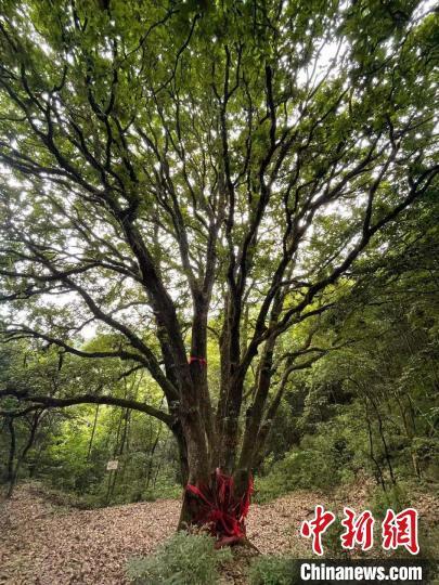 千年神树巴东栎。 刘文文 摄