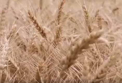 新疆昌吉州230万亩小麦陆续开镰收割