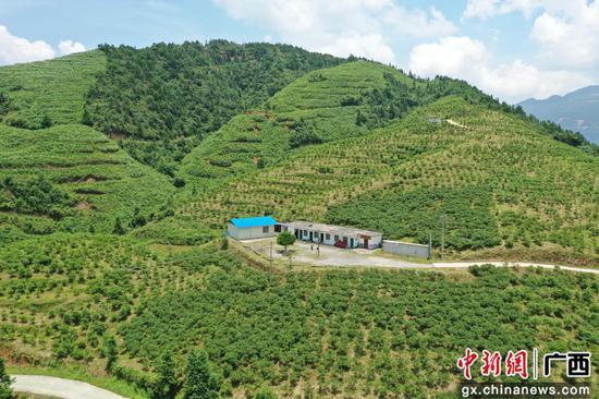 广西融水千亩蓝莓果飘香 乡村振兴产业旺