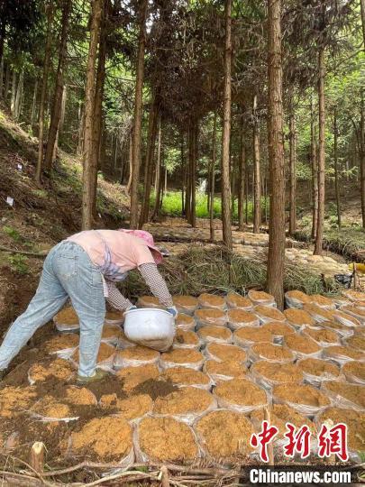 农户正种植天麻。 刘文文 摄