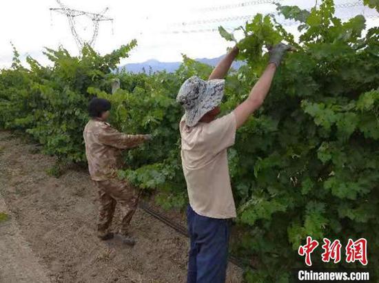 和硕县塔哈其镇河北新村,葡萄种植户薛海波夫妇正在田间管理即将成熟葡萄。 龚其克加甫 摄