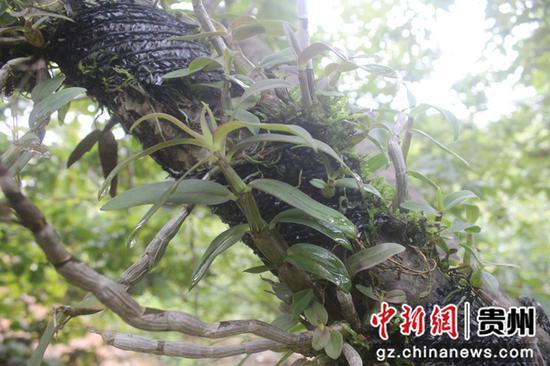 图为长在板栗树上的石斛。  李和江摄