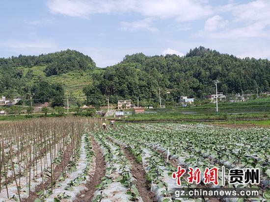 金沙县禹谟镇中坪村合作社建立的蔬菜基地 陈昱摄