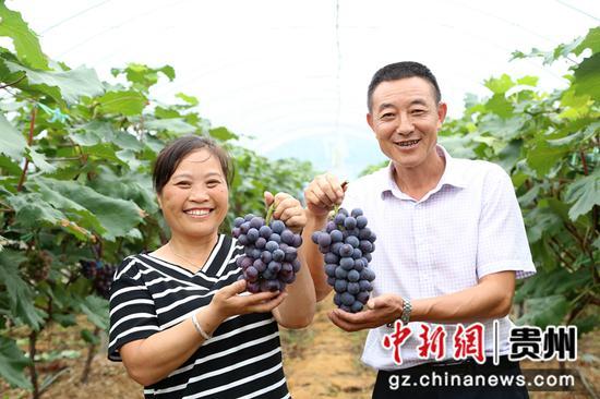 毕节七星关区葡萄成熟