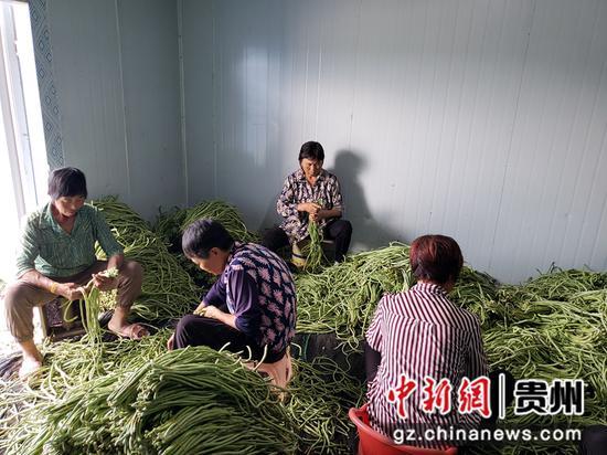 中坪村群众在蔬菜基地分拣豇豆蔬菜 陈昱摄