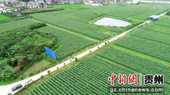 金沙县平坝镇平庄社区合作社建立的蔬菜基地  彭云栋摄