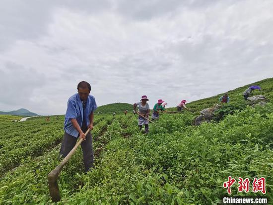 图为茶农正在管护茶园。 周济 摄