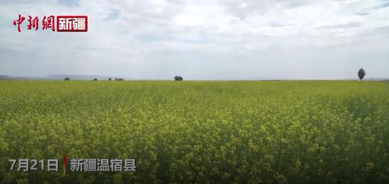 新疆温宿县油菜花开与天山遥相辉映,堪称西部盛景
