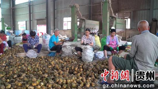 贵州贵定:清凉百合 助农增收