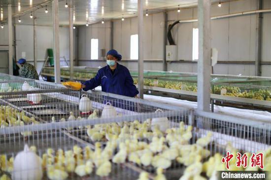 图为鹅孵化养殖基地。 杨晓海 摄
