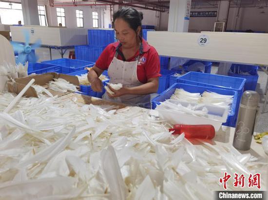 图为工人在整理鹅羽毛。 周燕玲 摄