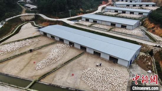 图为锦屏县养鹅基地。 杨晓海 摄