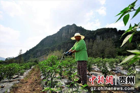 群眾正在給辣椒采取人工灌溉  何志剛   攝