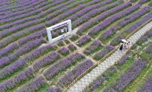 貴陽:紫色花海吸引游人
