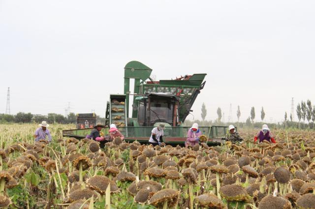 新疆焉耆县良种场万亩食葵喜获丰收