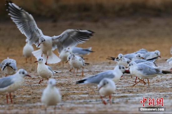 新疆博斯腾湖畔水鸟翩跹