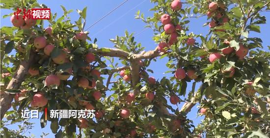 """""""冰糖心苹果""""的故乡10万亩苹果喜迎采摘"""