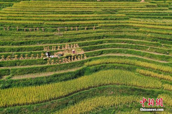 日前,贵州省黔东南苗族侗族自治州从江县加榜梯田种植的水稻陆续进入收割季,农户趁晴好天气,抢抓农时收割部分成熟的水稻,田间地头一片丰收的繁忙景象。图为9月2日,航拍丰收在望的加榜梯田。瞿宏伦 摄