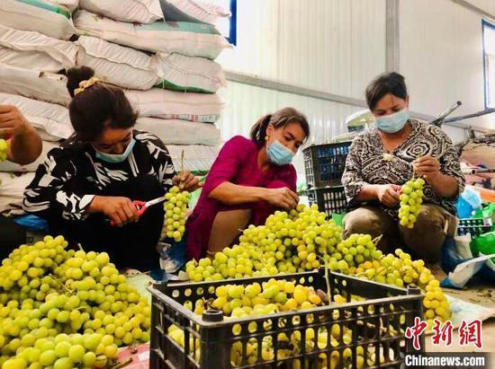 工人们正在对采摘的葡萄进行修剪。 阿不力米提江·阿卜杜拉 摄