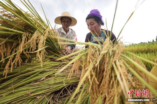 9月2日,农户在整理收割的水稻。 瞿宏伦 摄