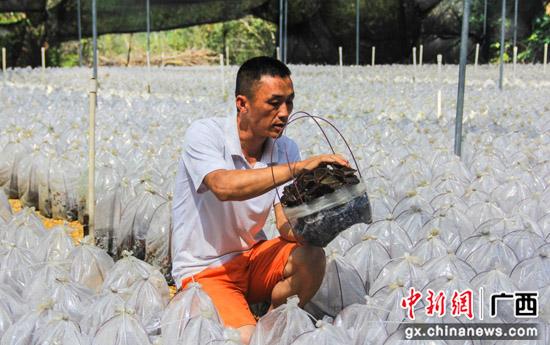 """广西昭平县林下种植药材""""金线莲"""" 满山开遍致富""""黄金叶"""""""