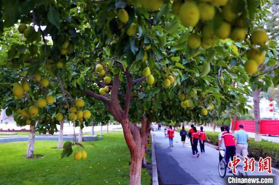 布满库尔勒市街头的库尔勒香梨挂满枝头。 杨厚伟 摄