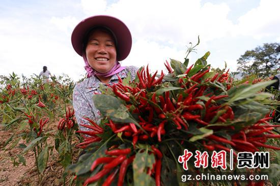 9月6日,在贵州省黔东南苗族侗族自治州剑河县久仰镇毕下村辣椒种植基地,村民在展示刚采收的辣椒。 杨家孟 摄