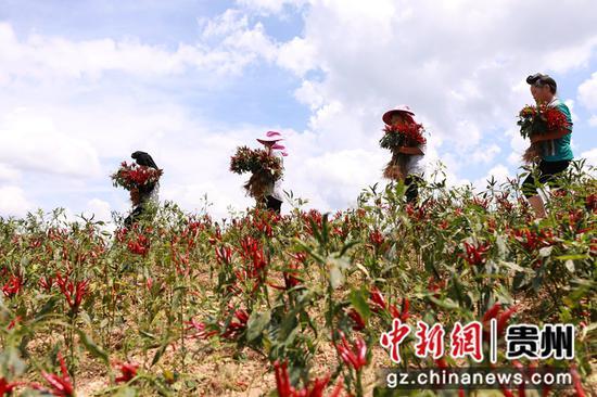 贵州剑河:辣椒丰收采收忙
