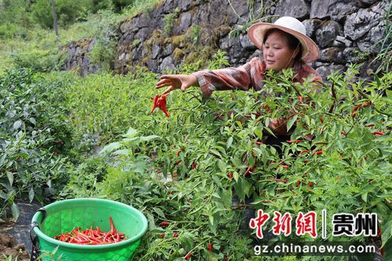 沿河6.5万亩辣椒成熟正采摘