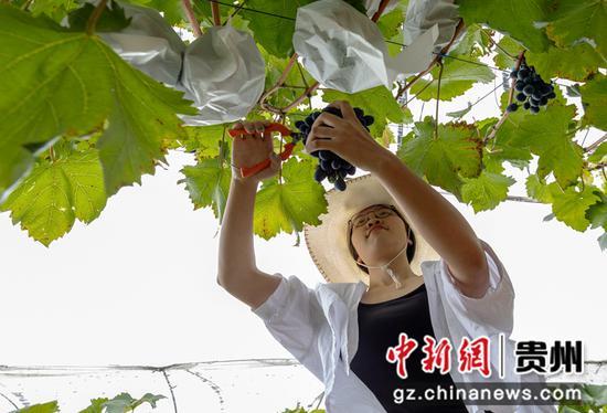 贵州黔西:葡萄成熟忙采摘
