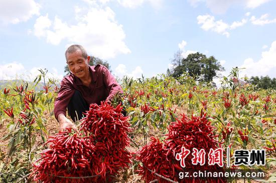 9月6日,在贵州省黔东南苗族侗族自治州剑河县久仰镇毕下村辣椒种植基地,村民在整理刚采收的辣椒。 杨家孟 摄
