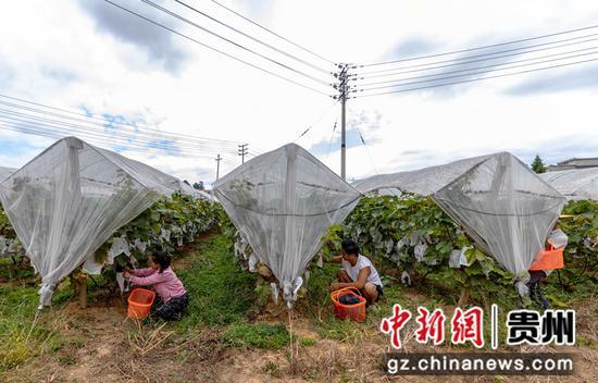 9月7日,村民在贵州省黔西市杜鹃街道牌庄社区采摘葡萄。