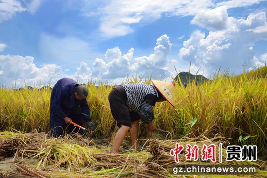惠水20万亩优质稻开镰收割