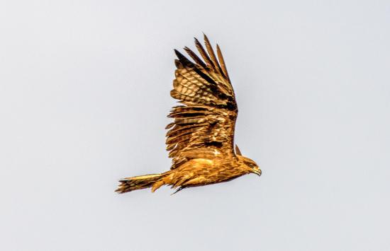 黑耳鸢翔集新疆察布查尔湿地公园