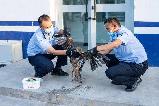 9月9日,图为民辅警对受伤猎隼进行检查。