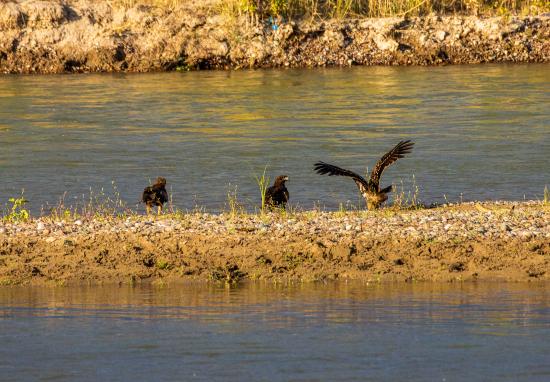 """黑耳鸢属于国家二级保护野生动物,中国最常见的猛禽之一,体长约65厘米,体羽深褐色,眼后黑色的耳羽就是它们的""""黑耳""""。"""