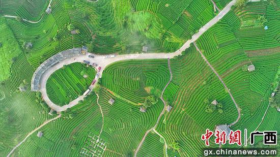 广西三江:侗乡盛夏茶飘香
