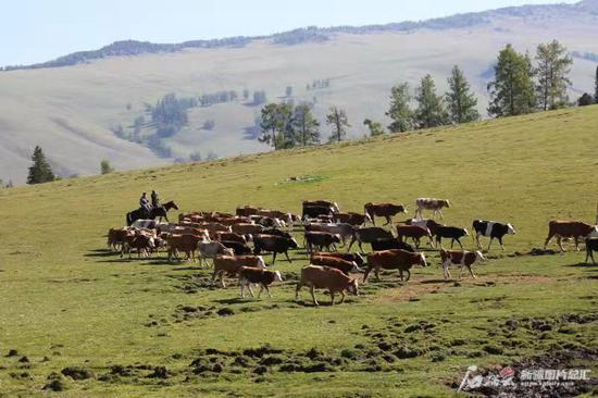 赶着牛羊走上转场路。石榴云/新疆日报记者任江摄