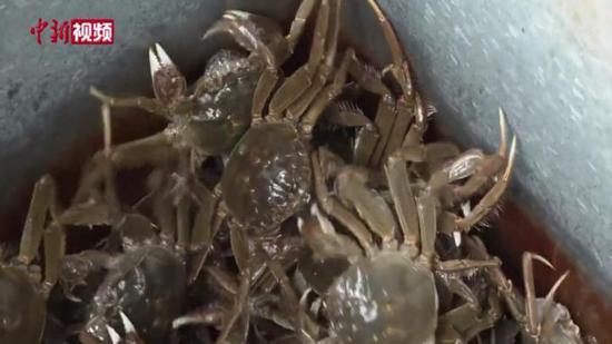 """新疆博斯腾湖十五万亩螃蟹""""抢先""""上市"""