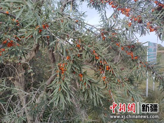 图为乌什县沙棘林湿地景区里的野生沙棘林。