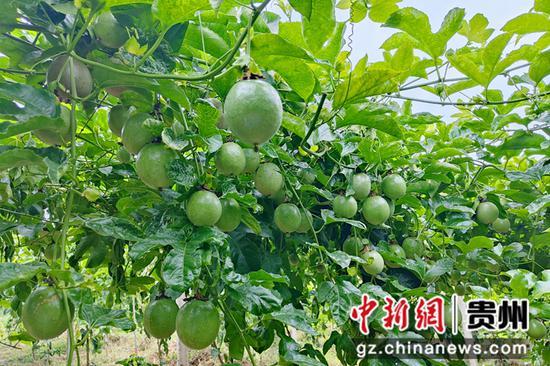 福泉:百香果喜迎丰收 特色产业助农增收