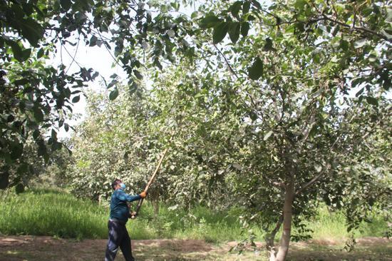 麦盖提县农民用长棒敲打树上成熟的核桃  霍然摄