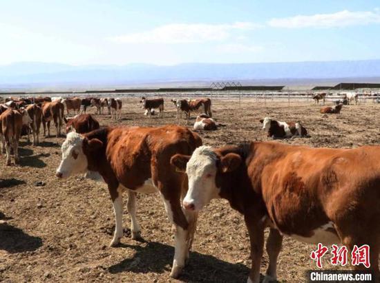 """图为西门塔尔牛。""""华凌牛业""""9个已开工的牛业田园综合体总投资超百亿元。和静项目将作为其中示范。 胡嘉琛 摄"""