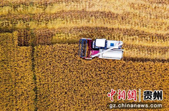 2021年9月14日,贵州省黔西市锦绣街道新民社区,村民驾驶收割机收割水稻。
