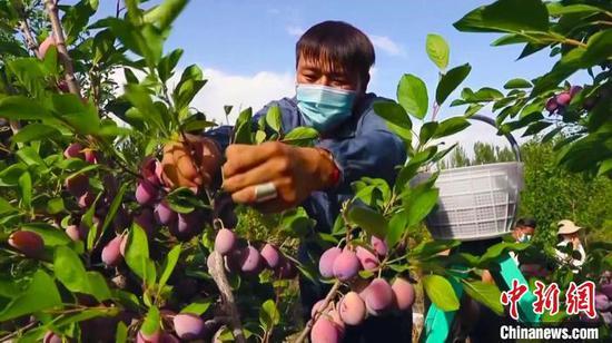 """和硕县种植合作社和果农忙于采摘、销售西梅,一年一度的""""梅""""好生活由此展开。 王荣曌玺 摄"""