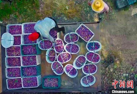 金秋时节,新疆巴州和硕县1.3万亩西梅迎来成熟采收季。 王荣曌玺 摄