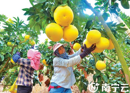 南宁市隆安县、西乡塘区、邕宁区等地蜜柚种植基地迎来丰收