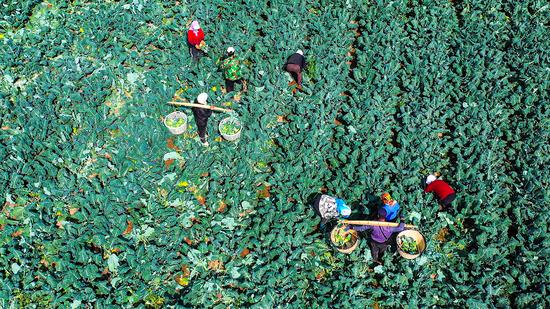 寧夏隆德:西蘭花喜獲豐收