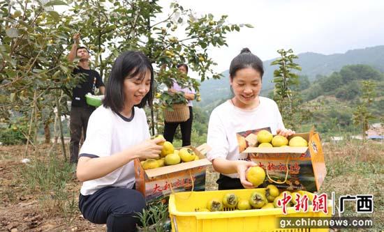 广西桂林平乐县:甜柿甜了果农心